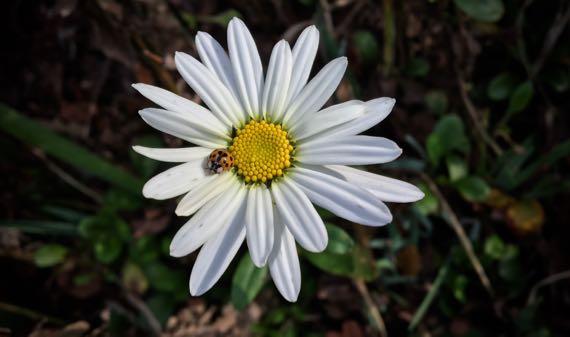 Daisy ladybug