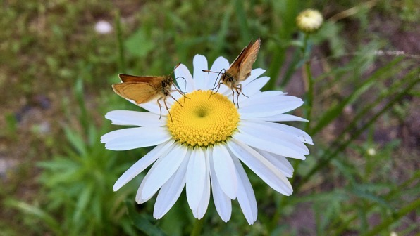 Daisy skippers