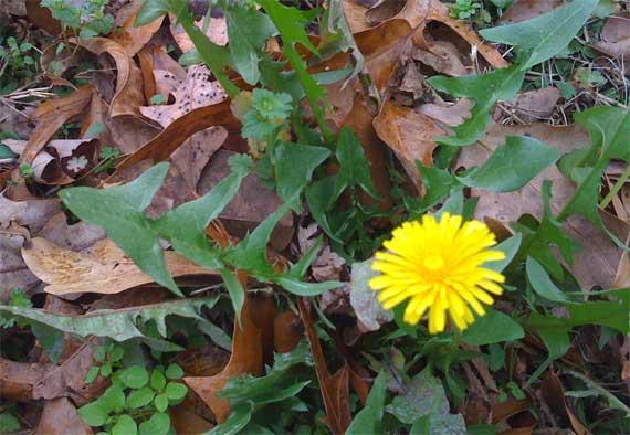 dandelion_bloom.jpg