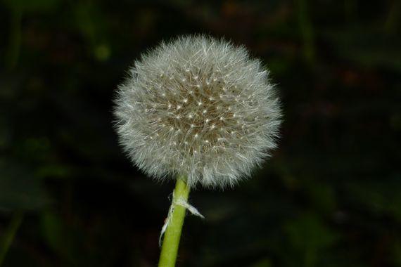 Dandelion finished poof 2011 Mar