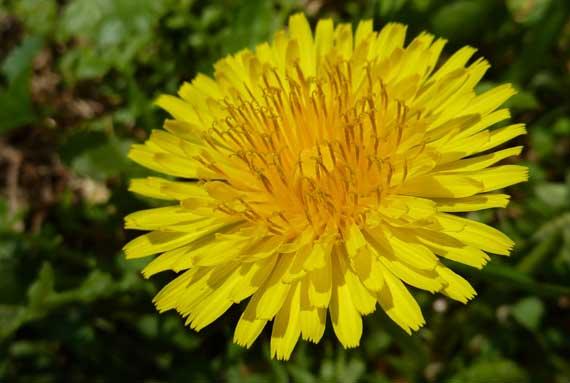 dandelion_glowing_spring.jpg