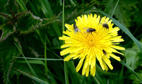 Dandelion with fly occupants