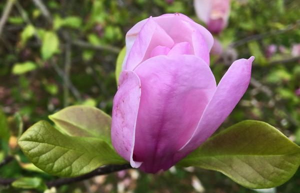 Deciduous magnolia bloom