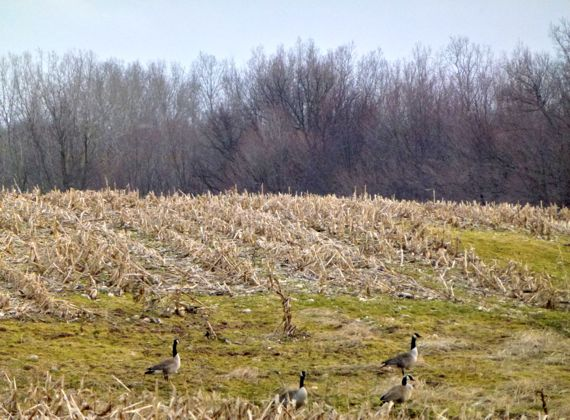 Declivity yesterday with geese