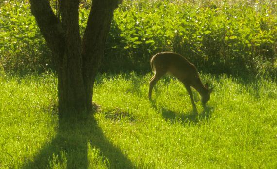 deer_browsing_east_yard.jpg