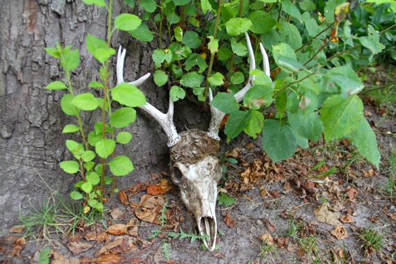Deer skull at base of ancient apple tree