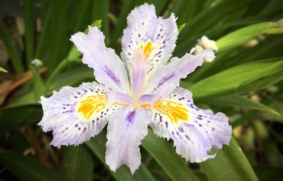 Delicate iris beardedmaybe