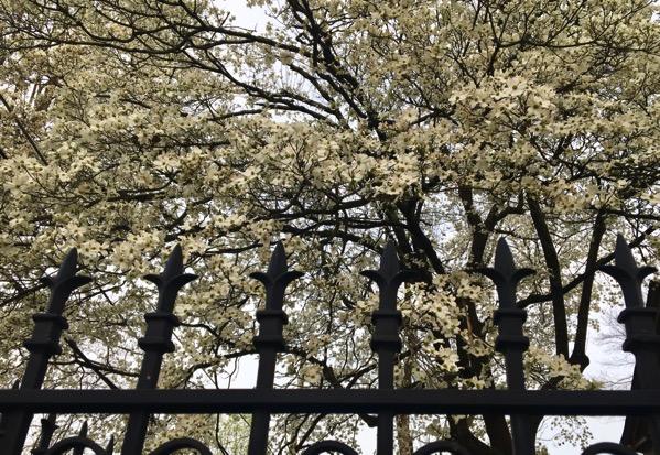 Dense dogwood blooms