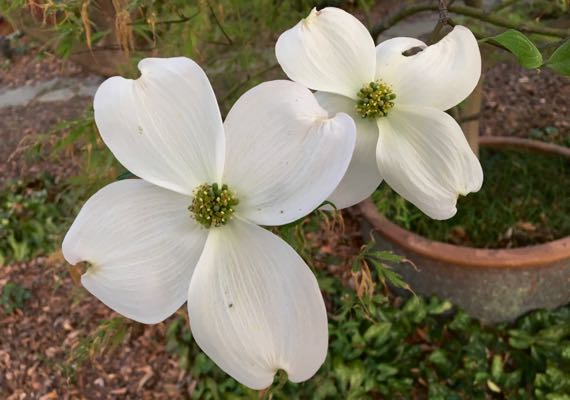 Dogwood bloom duo