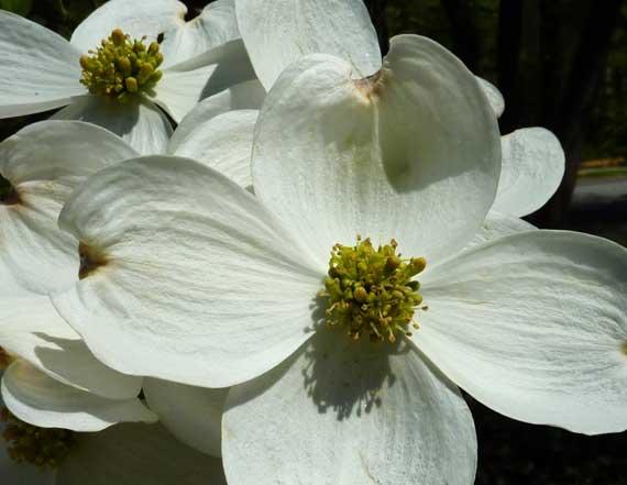 dogwood_blooms_midtown_2010.jpg