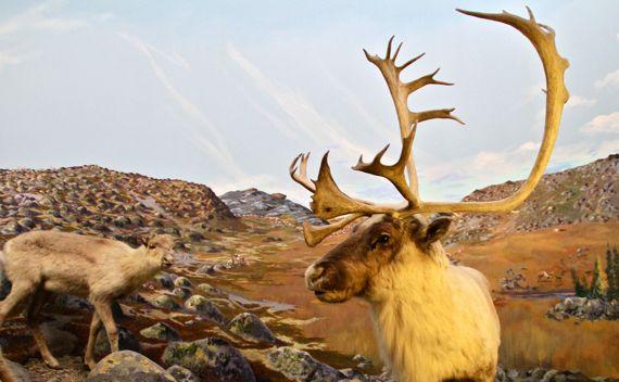 Double shovel cariboo diorama
