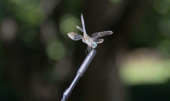 Dragonfly antenna