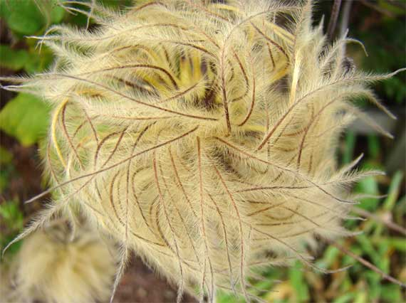 dried_feathery_flower.jpg