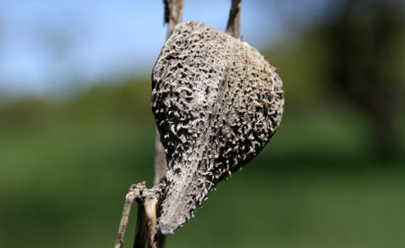 Dried milkweed pod