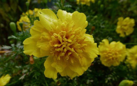Dwarf marigold bloomy