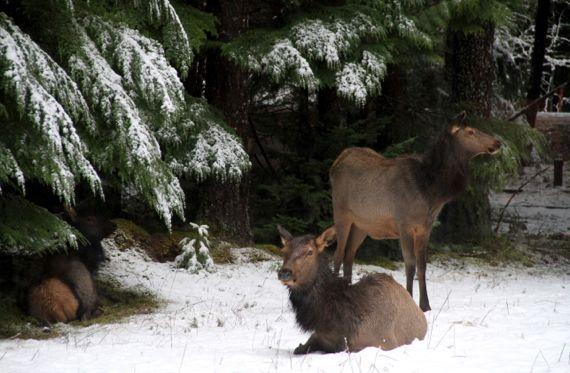 Elk trio