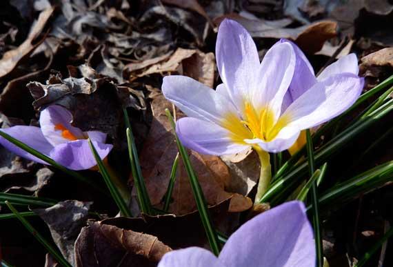 emergent_spring_bulb_flowers.jpg