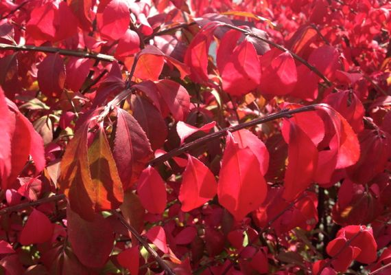 Euonymus alatus in red