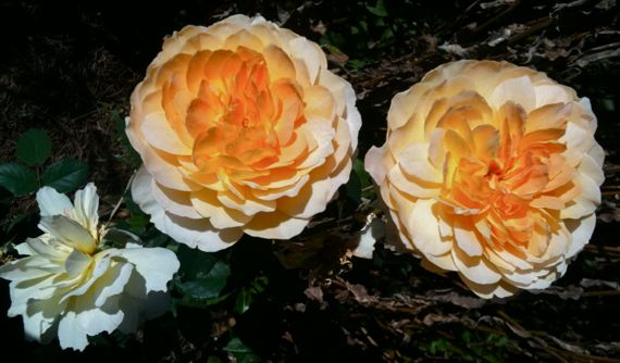 fall_roses_in_apricot.jpg