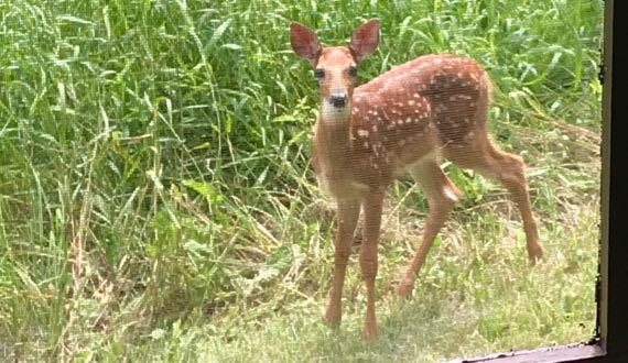 Fawn right outside porch