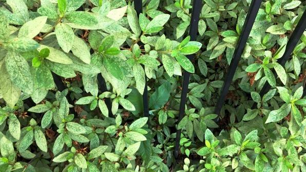 Fence azalea