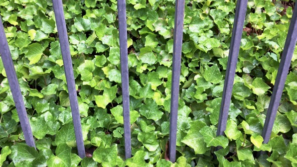 Fence ivy