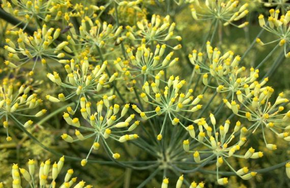 Fennel abloom