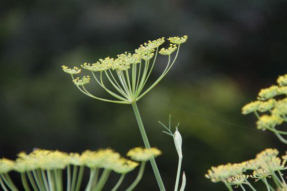 fennel_begins_flowering.jpg