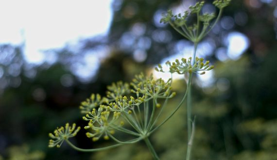 Fennel bloom depth