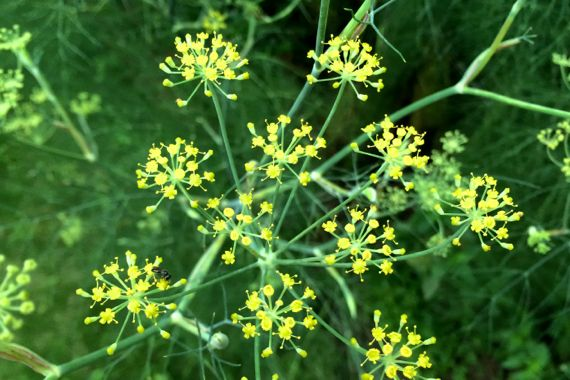 Fennel umbel