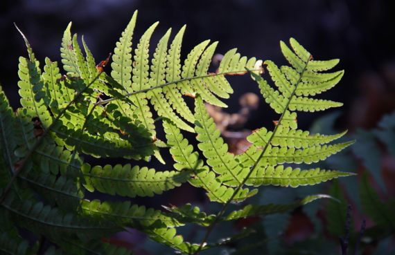 Fern backlit on mtn