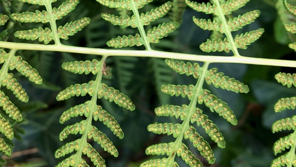Fern backside