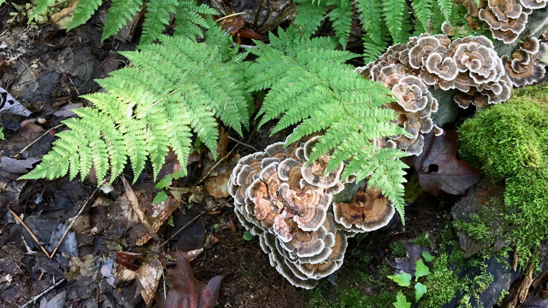 Fern fungi