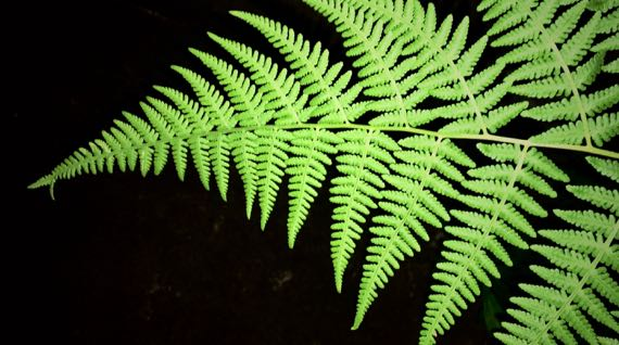 Fern night