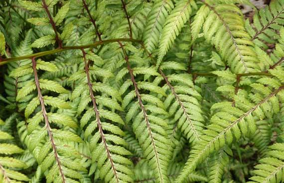 ferns_delicate_garden.jpg