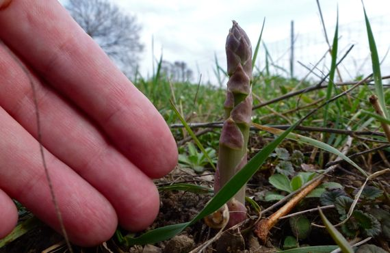 Finger measured asparagus in March