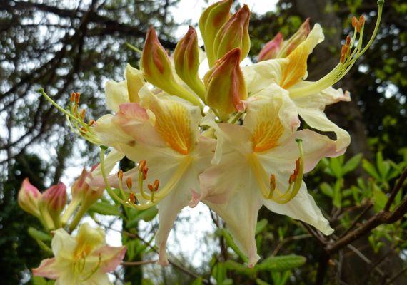 Flame azalea orangy PiedPk 2011 mar