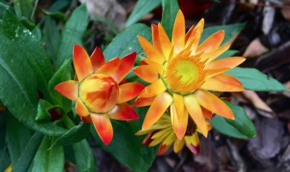Fleur pair