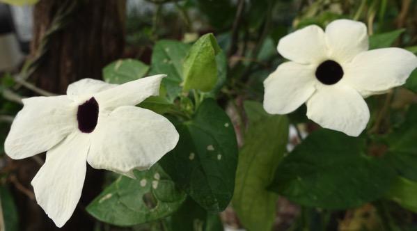 Fleurs blancs