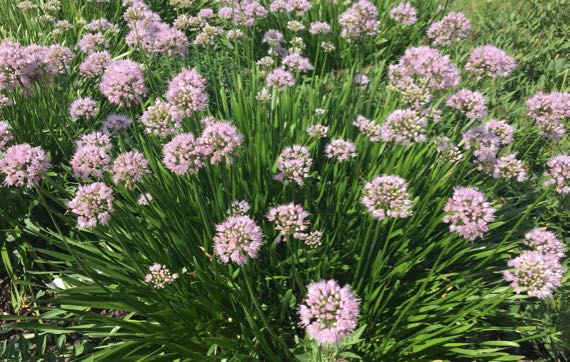 Flowers not chives I think