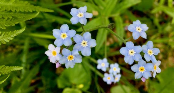 Forgetmenot cluster