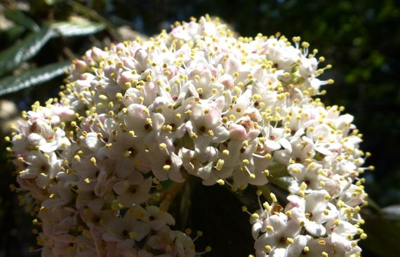 Forgot bush floret