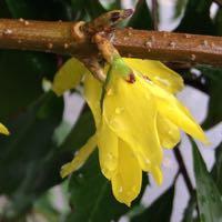 Forsythia bloom