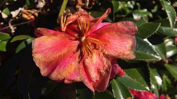 Frost burned camellia