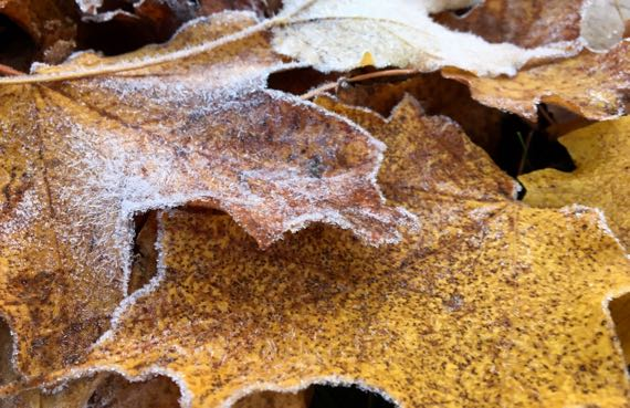 Frosted leaves CU
