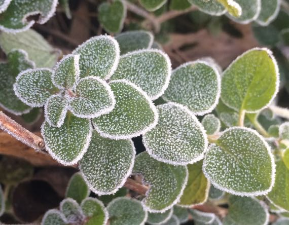 Frosted oregano