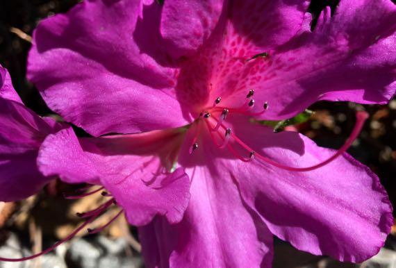 Fuchsia azalea