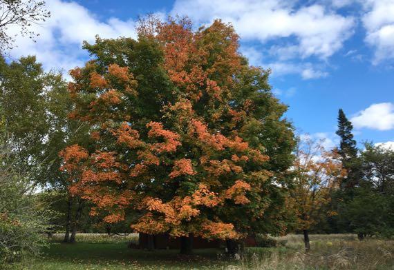 Full autumn maple