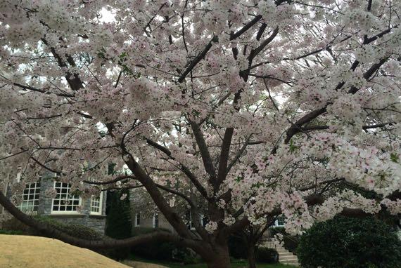 Full bloomin cherry plum