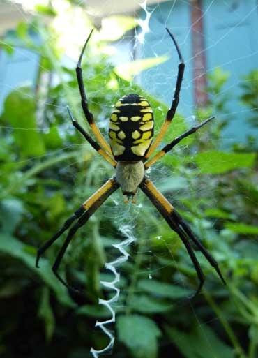 garden_spider_posing.jpg